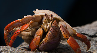 Click for Larger Image of Hermit Crab