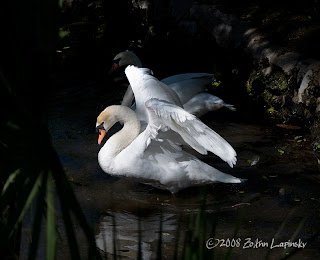 Click for Larger Image of Swan