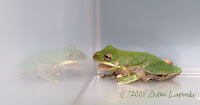 Click for Larger Image of Green Frog