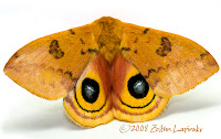 Click for Larger Image of Io Moth