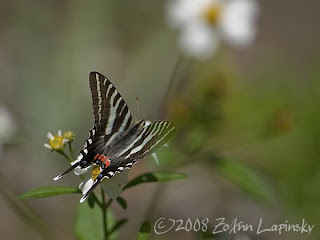 Click for larger image of Zebra Swallowtail