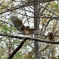 Click for Larger Image of Red Shouldered Hawks