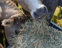 Cow Grabbing Hay