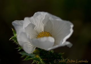 Click for Larger Image of Prickly Poppy