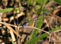 Click for Larger Image of Damselfly