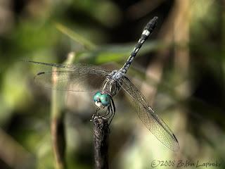 Click for Larger Image of Thornbush-Dasher-Micrathyria-hagenii