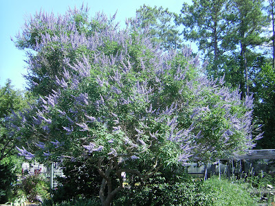 a tidewater gardener vitex agnus castus chaste tree. Black Bedroom Furniture Sets. Home Design Ideas