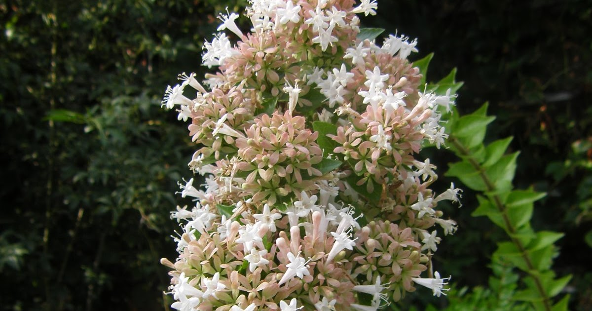 A Tidewater Gardener Abelia Chinensis Butterfly Magnet