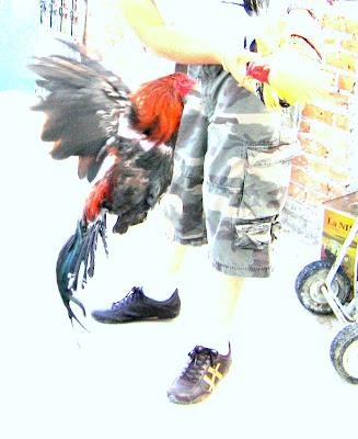 Hahnenkampf, Pelea de gallos, Cockfight Mexiko, México