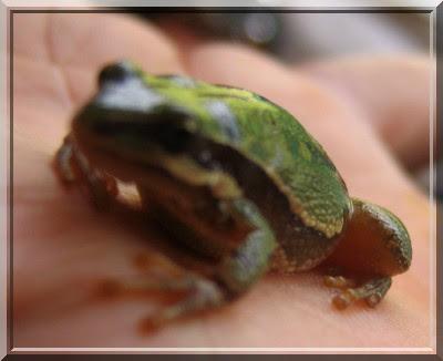 Frosch, Hand, Zelt, camping, Mexiko, aguascalientes