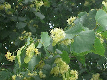 Le Tilleul en fleurs