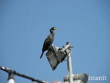 être un cormoran...