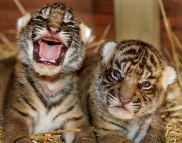male Amur tiger cub is introduced to