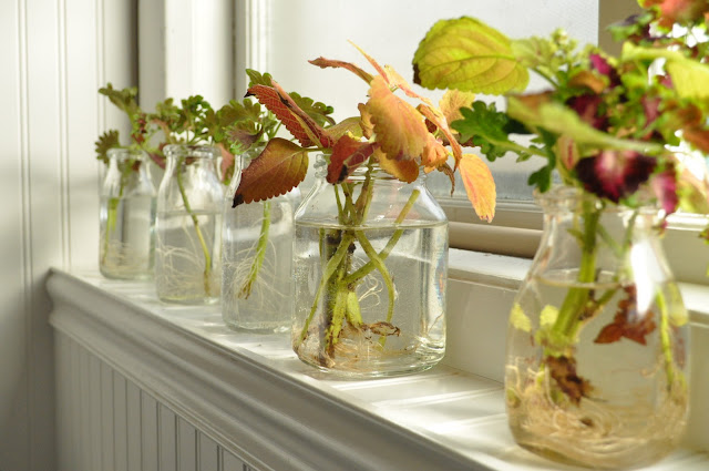 You can propagate any variety of coleus in jars and water