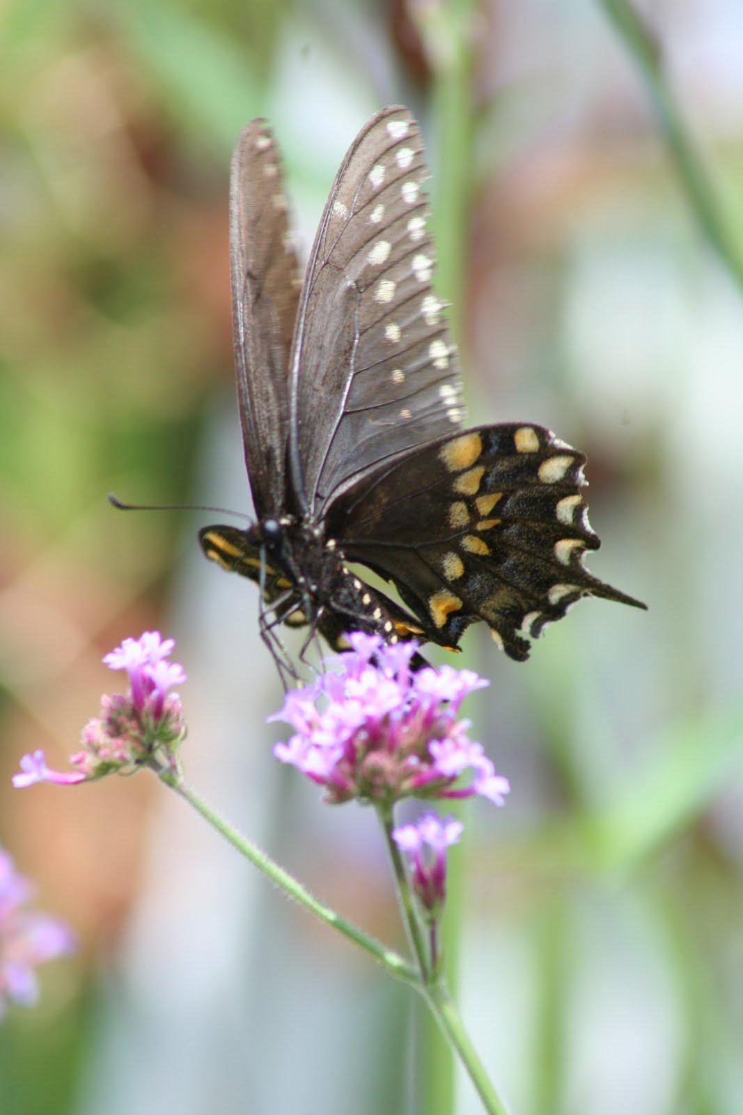 Via Joy How to attract butterflies