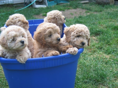 Goldendoodle And Labradoodle Puppies In Michigan Quality Puppies | Dog ...