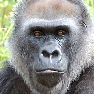 the collaboration between chimpanzees and monkeys Chimpanzees are humans' closest relative in dna hybridization orangutans, gibbons, and cebids (members of the old world monkeys) which indicates that it is a.