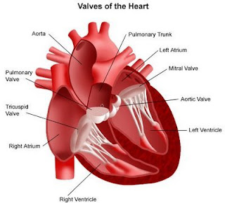 Gambar 1. Stuktur jantung