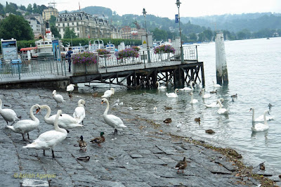 Many ducks and swans on the lakefront of Lake Lucerne