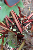 Rhubarb Stocks