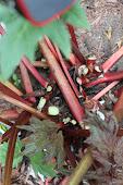 Rhubarb Stocks