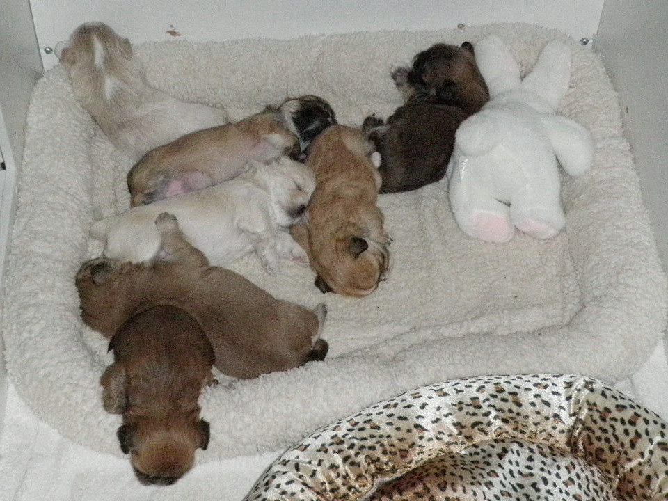 Podgypaws Lhasa Apso Puppies Growing Fast