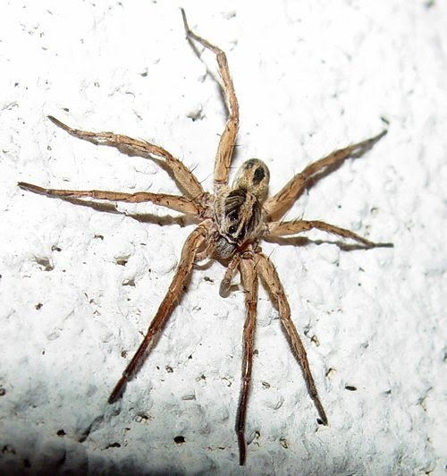Bill 39 s tn paradise wolf spiders they definitely bite for Fishing spider michigan