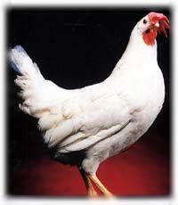 White Leghorn Hen