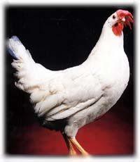 White Leghorn Hen