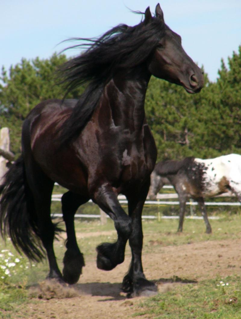 Самые красивые лошади-ФРИЗЫ