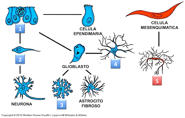 tejido sistema nervioso: