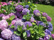 Hydrangeas in the Garden