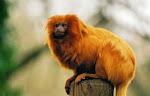 salvando um mico-leão-dourado
