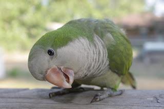 Quaker Parrot, Petri Peering into Camera Lens