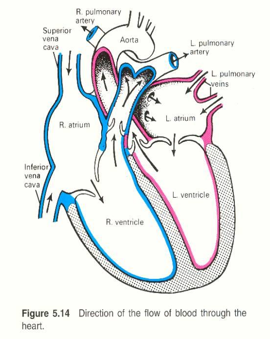 human heart diagram simple - klejonka, Muscles
