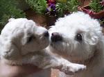 Caniches, los mejores compañeros
