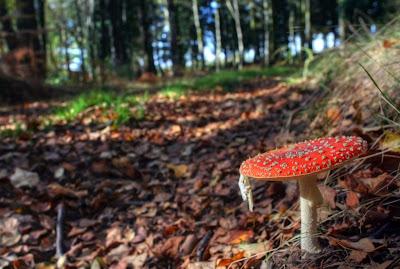 Cogumelos - Agário-das-moscas (Amanita Muscaria)