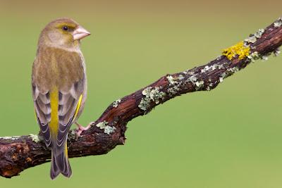 Aves - Verdilhão (Carduelis chloris)