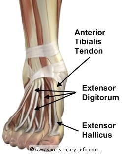 Tibialis posterior tendon anatomy