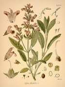 Salvia (salvia officinalis L.)