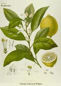 Limonero (citrus limón)