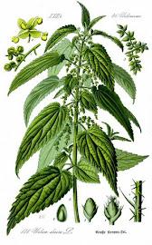Ortiga (Urtica spp (Urtica urens L; Urtica dioica L; Urtica andicola)