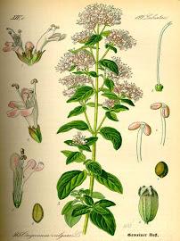 Mejorana (Origanum majorana)