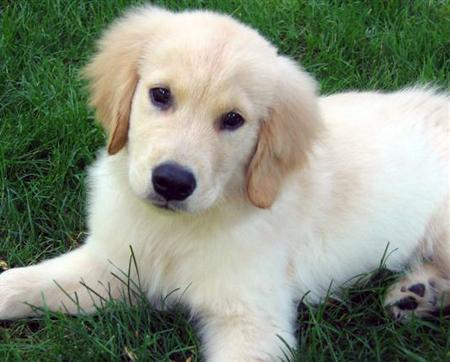 cute golden retriever wallpaper. wallpaper Cute Golden