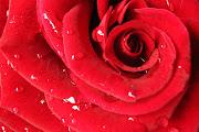 lo has llamado el otoño de las rosas. Aspíralas y enciéndete. Y escucha