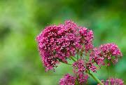 esta es la foto que puse el día pasado en el post titulado la flor y las . hierba san jorge