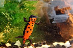 fire bellied newts