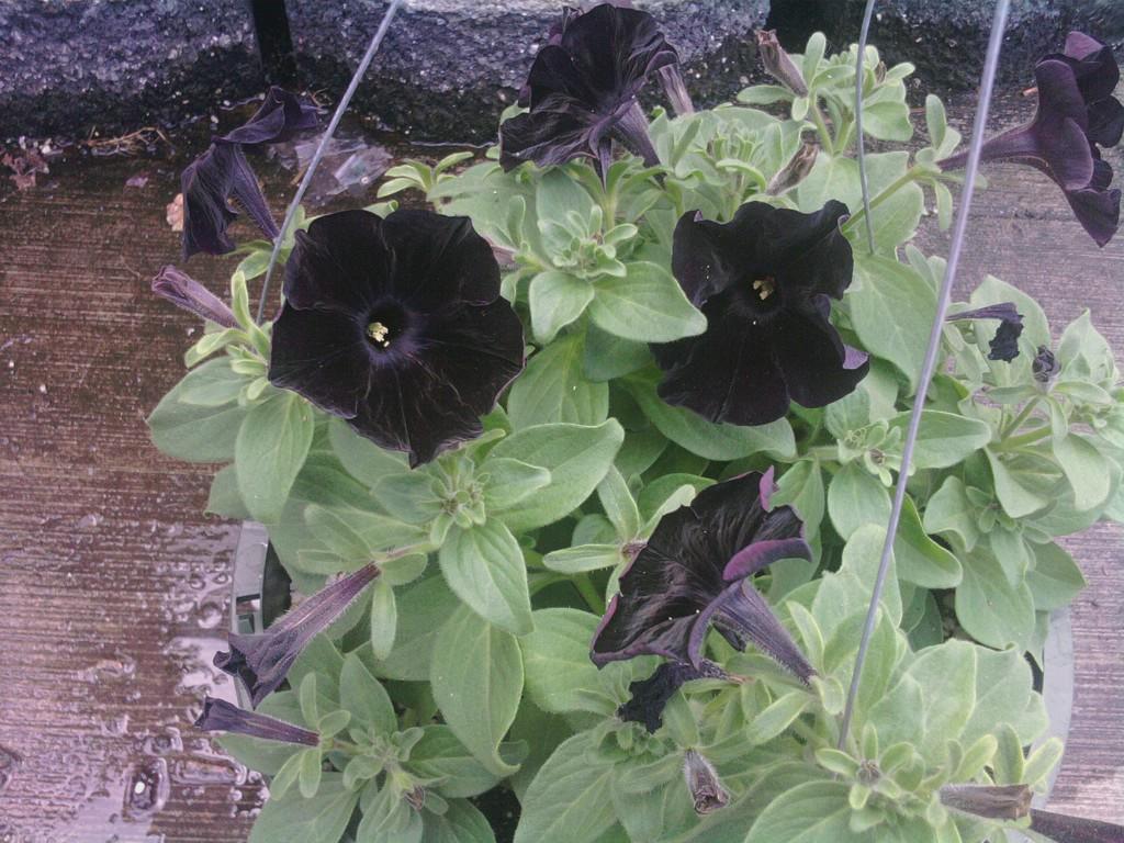 Black Velvet - There Goes My Heart Again