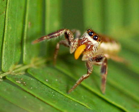 091012 vegetarian spider big 10 Penemuan spesies Binatang Baru Versi National Geographic