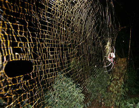 091021 largest web spinning spider big 10 Penemuan spesies Binatang Baru Versi National Geographic